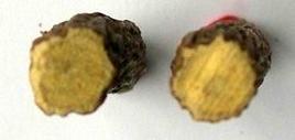 Glycyrrhiza glabra (droga). Fonte: Borrelli/Capasso/Izzo