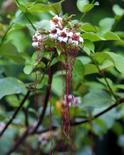 Strophanthus hispidus. Fonte: Aoki2