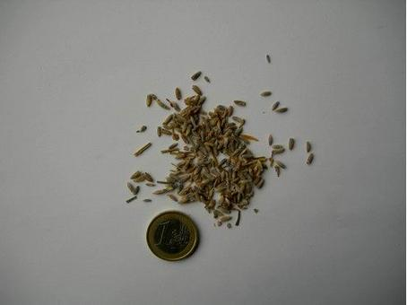 Lavandula angustifolia (droga essiccata). Fonte: Borrelli/Capasso/Izzo