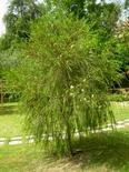 Melaleuca alternifolia. Fonte: Borrelli/Izzo