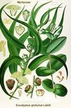 Eucalyptus globulus. Fonte: Metafro
