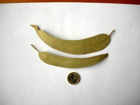 Eucalyptus globulus (foglie dei rami adulti). Fonte: Borrelli/Izzo