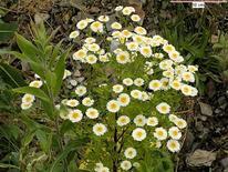Tanacetum parthenium. Fonte: Floralimages