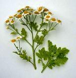 Tanacetum parthenium. Fonte: dkimages