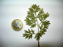 Artemisia absinthium. Fonte: Borrelli/Izzo