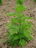 Artemisia annua. Fonte: Agraria.org