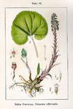 Petasites hybridus. Fonte: Wikimedia Commons