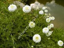 Anthemis nobilis. Fonte: Atlas botani