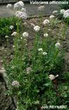 Valeriana officinalis. Fonte: Nature jardin