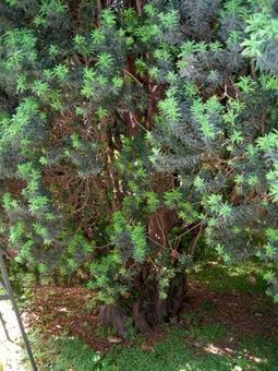 Taxus baccata. Fonte: Borrelli/Izzo