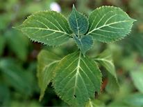 Salvia divinorum. Fonte: Anna Pellizzone