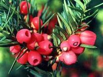 Taxus baccata. Fonte Legambiente