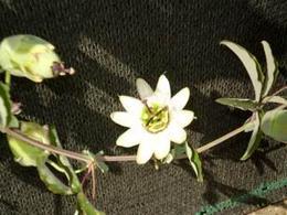 Passiflora cerulea. Fonte: Capasso, Borrelli, Izzo