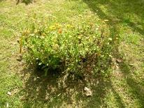 Calendula officinalis. Fonte: Borrelli/Izzo
