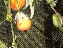 Passiflora (Frutto). Fonte: Borrelli/Izzo