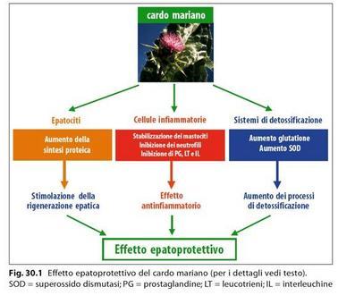 Effetto epatoprotettivo del cardo mariano, da Capasso/Grandolini/Izzo. Fitoterapia. Springer, 2006