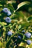 Vaccinium myrtillus. Fonte: Aboca