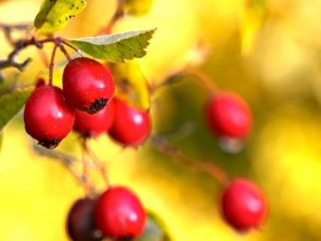 Frutti. Fonte: UBC botanical garden