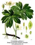 Podophyllum peltatum. Fonte: Plant-pictures