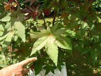 Ricinus communis. Fonte: Borrelli/Izzo