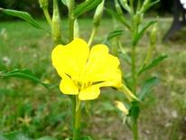 Oenothera biennis. Fonte: Academic Dictionaries and Encyclopedias