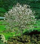 Prunus amygdalus. Fonte: pages.unibas