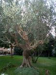 Olea europaea. Fonte: Izzo A.A.