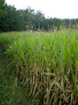 Zea mais (coltivazione). Fonte: Izzo A.A.