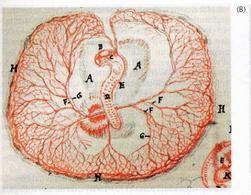 Un embrione di pollo disegnato da Malpigli