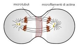 Ruolo dei microtubuli e dei microfilamenti nella divisione cellulare