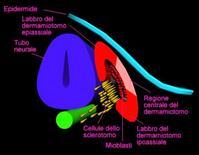 Derivati del somite