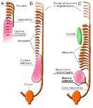 Schema dello sviluppo del rene