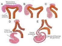 Induzione reciproca nello sviluppo del rene dei mammiferi