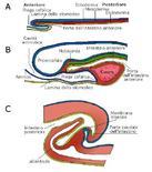 Fromazione dell'intestino anteriore e di quello posteriore nel pollo
