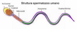 Struttura spermatozoo umano