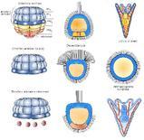 Capacità dei micromeri di indurre cellule ectodermiche presuntive
