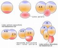 Segmentazione di Dentalium