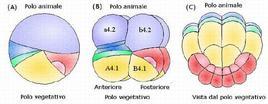 Segmentazione a simmetria bilaterale del tunicato Stylea Partita