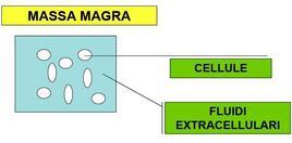 Micromodello della massa magra.