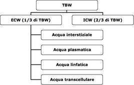 Distribuzione dell'acqua totale corporea nei vari compartimenti.