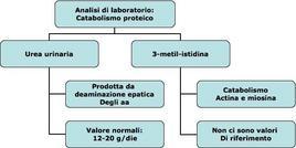 Parametri relativi alla urea e 3-metil-istidina urinaria.