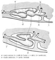 Ripiegamento a S del cuore durante lo sviluppo embrionale. Da Harder, modificato