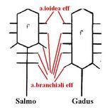 Schema della circolazione arteriosa cefalica. Visione dorsale. Da Grassè, modificato
