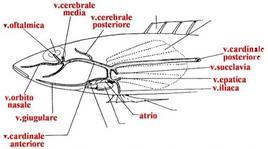 Circolazione venosa della testa, visione laterale. Da Lagler, modificato