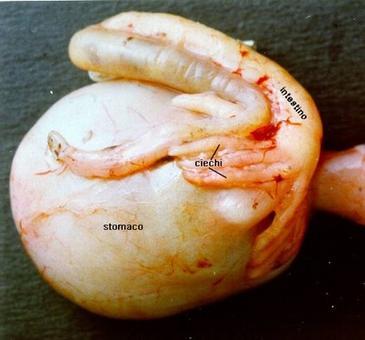 Stomaco e intestino di scorfano