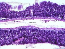 Pancreas esocrino di scorfano