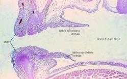 Sezione parasagittale di orofaringe di larva di orata
