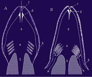Funzione delle valvole respiratorie durante le fasi della respirazione. Fonte: modificata da Harder, Anatomy of fishes