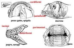 Diverse forme di denti nei Teleostei. Fonte: modificata da Harder, Anatomy of fishes