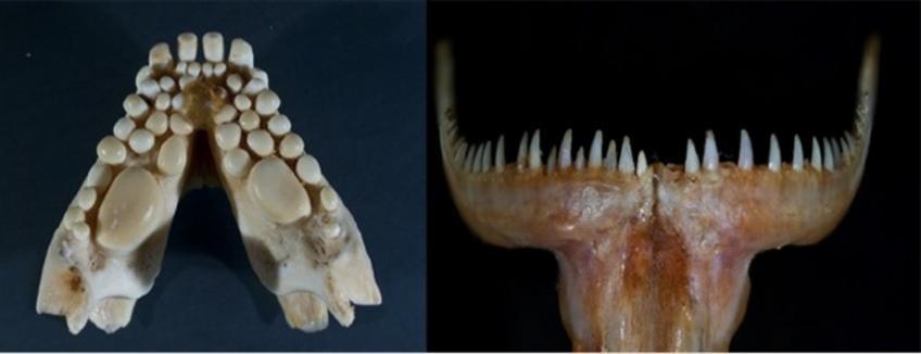 Denti di sarago (a sinistra) e di pesce serra (a destra)